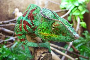 chameleon macro shot by Jantiff-Stocks