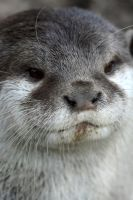 Otter - Portrait 1 by jembean