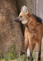Maned Wolf by EdgedFeather
