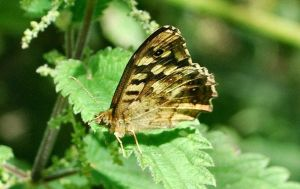 Speckled Wood by moonhare77