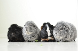 Guinea pig pack by Tapire