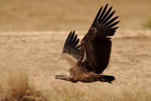 African Vulture iii by GREYFading