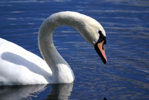 Swan by Thundred