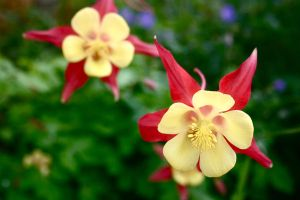 Columbines by kyndall0709