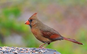Female Cardinal 5-5-13 by Tailgun2009