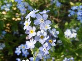 Forget me nots by tobysq