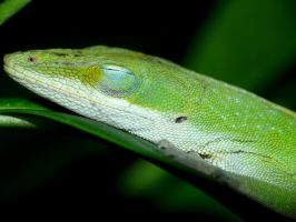 Another sleeping Anole by duggiehoo