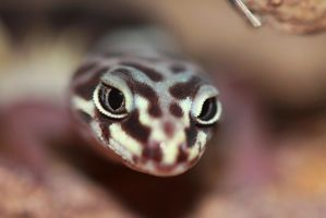 Curious Banded Gecko by Monkeystyle3000