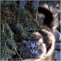 First Advent cat by brijome
