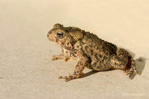The American Toad by UffdaGreg