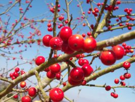 Red Berries by canabalisticmonkey