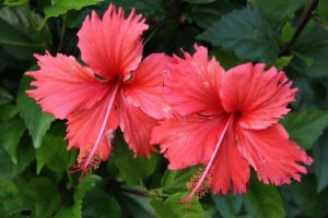 Red Twin Flowers by Chilllyblahblah