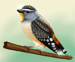 Spotted pardalote by Laknea