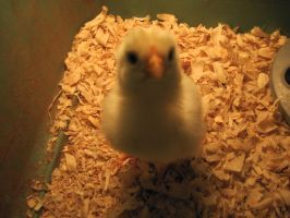 Tabitha a young rooster by Lark-Catalpa-Royal8