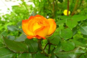An orange rose by samo19