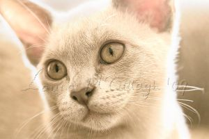 Burmese kitten by Marmaluke
