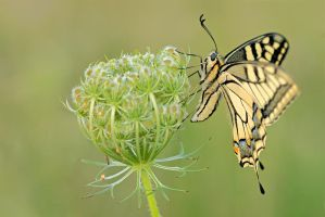 swallowtail by MartinAmm