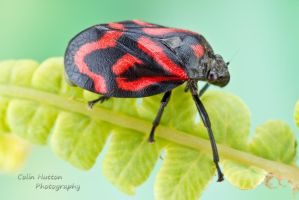Froghopper by ColinHuttonPhoto