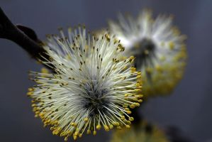 Willow Flower by organicvision