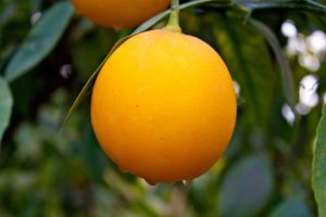 Lemon on the tree by abdussadik