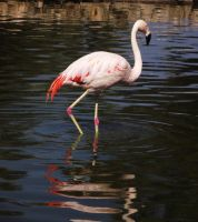 Flamingo by Alicss