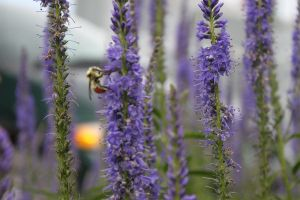 Bee and Lavender 4 by WhyteHawke