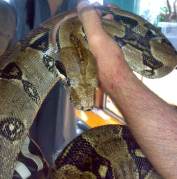 Boa Constrictor by Carnivius