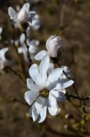 Pure Magnolia by MarieLoup