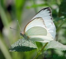 Great Southern White 2220 A by Eolhin