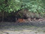 stock image deer lying  in the mire by Nexu4