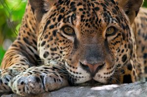 Jaguar Portrait 1346 by robbobert