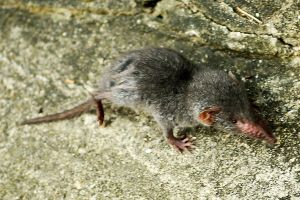 Cheung Chau shrew 1 by wildplaces