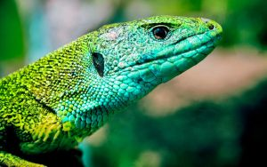 European green lizard by blackasmodeus