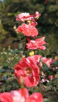 Some Roses by aquifer