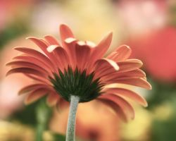 A Gerbera Dream by andras120