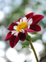 Red and white Dahlia. by asaluiphotography