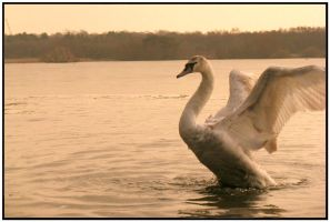 Fleet Pond Swans 02 by reed-richards