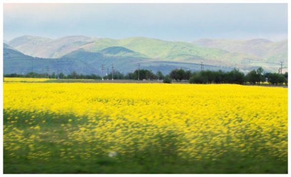 Fields of yellow by Enfantine2