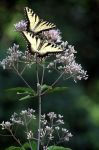 Tiger Swallowtail Butterflies by ginaphotos