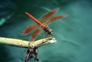 dragonfly. by poporina
