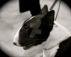 black and white bull terrier by Bunnybunbunbunee