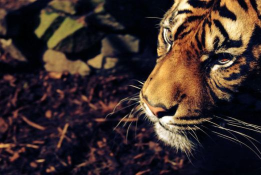 The One Eyed Tiger. by mckinlay