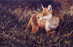Fox In The Evening by ChrisMoult