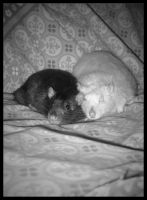 Old rats by BimaFatima
