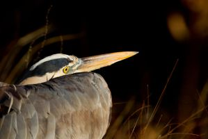 Heron 2 by bovey-photo