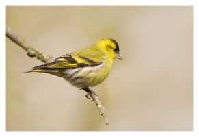 Siskin by Neutron2K