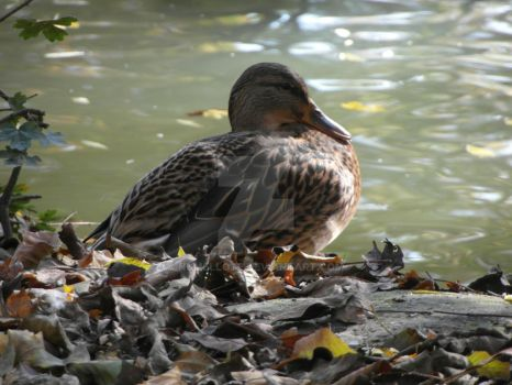 Wild duck 1 by Numellote