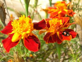 OnY Flower with a Lady Bug by LenSpirations