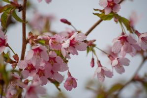 Water Droplets on Pink Petals by taeliac