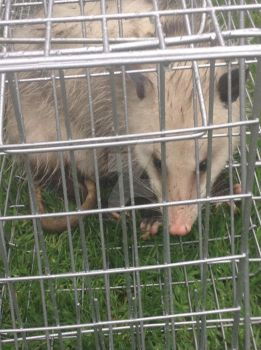 Mother Opossum by CatWoman-cali-onyx